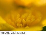 Купить «Marsh marigold / Kingcup (Caltha palustris) Vosges, France, April.», фото № 25180332, снято 27 апреля 2018 г. (c) Nature Picture Library / Фотобанк Лори
