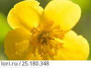 Купить «Marsh marigold / Kingcup (Caltha palustris) Vosges, France, April.», фото № 25180348, снято 23 июля 2019 г. (c) Nature Picture Library / Фотобанк Лори