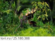 Купить «Hoatzins (Opisthocomus hoazin) on branch, Napo wildlife lodge, Amazonas, Ecuador, South America, April.», фото № 25180388, снято 26 марта 2019 г. (c) Nature Picture Library / Фотобанк Лори