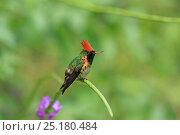 Купить «Tufted coquette (Lophornis ornata) perched, Trinidad and Tobago.», фото № 25180484, снято 17 июля 2019 г. (c) Nature Picture Library / Фотобанк Лори