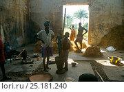 Купить «Rice farmers pounding freshly harvested rice, Port Loko district, Sierra Leone, 2004-2005.», фото № 25181240, снято 18 марта 2018 г. (c) Nature Picture Library / Фотобанк Лори