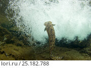 Купить «Japanese giant salamander (Andrias japonicus) male swimming in current. Ichikawa river, Okayama, Japan, September.», фото № 25182788, снято 20 августа 2018 г. (c) Nature Picture Library / Фотобанк Лори