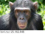 Купить «Chimpanzee (Pan troglodytes) portrait, Ngamba Island Chimpanzee Sanctuary, Lake Victoria, Uganda.», фото № 25182848, снято 25 марта 2019 г. (c) Nature Picture Library / Фотобанк Лори