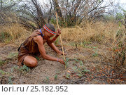Купить «Naro San woman digging out the root of a medicinal 'liver plant', Kalahari, Ghanzi region, Botswana, Africa. Dry season, October 2014.», фото № 25182952, снято 2 июля 2020 г. (c) Nature Picture Library / Фотобанк Лори