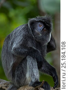 Купить «Silvered / silver-leaf langur (Trachypithecus cristatus) mature male scratching - portrait. Bako National Park, Sarawak, Borneo, Malaysia.», фото № 25184108, снято 18 января 2020 г. (c) Nature Picture Library / Фотобанк Лори