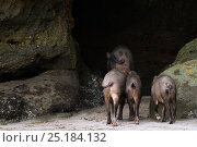 Bearded pigs (Sus barbatus) entering a cave in the eroded sandstone cliffs. Bako National Park, Sarawak, Borneo, Malaysia. Стоковое фото, фотограф Anup Shah / Nature Picture Library / Фотобанк Лори