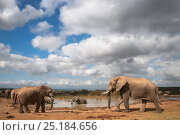 African elephants (Loxodonta africana) at waterhole, Addo Elephant National Park, South Africa, February. Стоковое фото, фотограф Ann & Steve Toon / Nature Picture Library / Фотобанк Лори