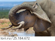 African elephant (Loxodonta africana) scratching its ear , Addo Elephant national park, South Africa, February. Стоковое фото, фотограф Ann & Steve Toon / Nature Picture Library / Фотобанк Лори