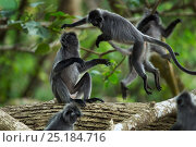 Silvered / silver-leaf langurs (Trachypithecus cristatus) play fighting. Bako National Park, Sarawak, Borneo, Malaysia. Стоковое фото, фотограф Anup Shah / Nature Picture Library / Фотобанк Лори