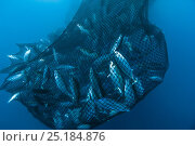 Drag net of a seine fishing vessel full of Yellowfin tuna (Thunnus albacares), Los Roques, Venezuela. Caribbean. Стоковое фото, фотограф Pascal Kobeh / Nature Picture Library / Фотобанк Лори