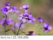 Купить «Annual honesty (Lunaria annua) in flower, Belgium, April.», фото № 25184896, снято 22 мая 2018 г. (c) Nature Picture Library / Фотобанк Лори