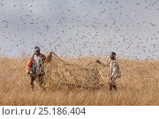 Купить «People catching Migratory locusts (Locusta migratoria capito) for human consumption with mosquito nets at early morning when they can not fly long distances...», фото № 25186404, снято 17 июля 2018 г. (c) Nature Picture Library / Фотобанк Лори