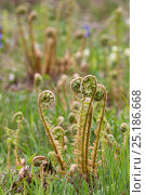 Купить «Scaly Male Fern (Dryopteris affinis), unfurling fronds, Lancashire, UK, April.», фото № 25186668, снято 18 декабря 2018 г. (c) Nature Picture Library / Фотобанк Лори