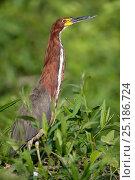 Купить «Rufescent Tiger Heron (Tigrisoma lineatum)  Hunting at the water's edge, Mato Grosso, Pantanal, Brazil.  August.», фото № 25186724, снято 18 июня 2019 г. (c) Nature Picture Library / Фотобанк Лори