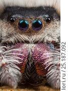 Regal Jumping Spider (Phidippus regius) female. Captive, occurs in North America. Стоковое фото, фотограф Alex Hyde / Nature Picture Library / Фотобанк Лори