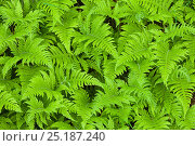Beech Fern (Phegopteris connectilis), Isle of Mull, Scotland, UK. June. Стоковое фото, фотограф Alex Hyde / Nature Picture Library / Фотобанк Лори
