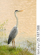 Купить «Grey heron (Ardea cinerea), Yala National Park, Sri lanka.», фото № 25187588, снято 5 июля 2020 г. (c) Nature Picture Library / Фотобанк Лори