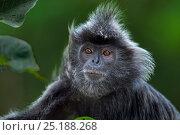Купить «Silvered / silver-leaf langur (Trachypithecus cristatus) male head and shoulders portrait. Bako National Park, Sarawak, Borneo, Malaysia.», фото № 25188268, снято 27 мая 2018 г. (c) Nature Picture Library / Фотобанк Лори