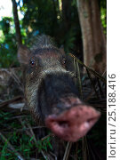 Bearded pig (Sus barbatus) peering with curiosity - wide angle perspective. Bako National Park, Sarawak, Borneo, Malaysia. Стоковое фото, фотограф Anup Shah / Nature Picture Library / Фотобанк Лори