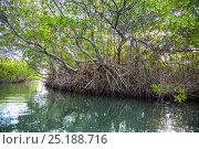 Купить «Red Mangrove (Rhizophora mangle) trees, Morrocoy National Park, Venezuela. February 2014.», фото № 25188716, снято 25 мая 2020 г. (c) Nature Picture Library / Фотобанк Лори