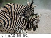Купить «Two Plain's zebras (Equus quagga / burchelli) fighting - one biting the other, Etosha National Park, Namibia.», фото № 25188892, снято 26 февраля 2020 г. (c) Nature Picture Library / Фотобанк Лори