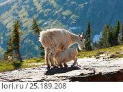 Mountain goat (Oreamnos americanus) mother nursing kid on mountain hillside. Glacier National Park, Montana, Rocky Mountains, July. Стоковое фото, фотограф Thomas Lazar / Nature Picture Library / Фотобанк Лори