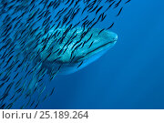 Купить «Whale shark (Rhincodon typus) with shoal of anchovies staying near to avoid predation. Los Roques, Venezuela. Caribbean.», фото № 25189264, снято 21 августа 2019 г. (c) Nature Picture Library / Фотобанк Лори