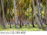 Купить «Coconut plantation (Cocos nucifera) on Caribbean Coast. Venezuela, February 2014.», фото № 25189408, снято 19 августа 2018 г. (c) Nature Picture Library / Фотобанк Лори