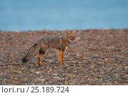 Patagonian grey fox (Lycalopex griseus) Valdes Peninsula, Chubut, Patagonia, Argentina. Стоковое фото, фотограф Gabriel Rojo / Nature Picture Library / Фотобанк Лори