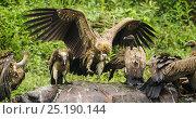 Купить «Indian vultures (Gyps indicus) scavenging on dead rhino, Mizoram, north east India.», фото № 25190144, снято 20 июня 2019 г. (c) Nature Picture Library / Фотобанк Лори