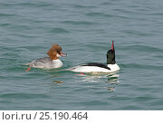 Купить «Goosander (Mergus merganser) male displaying to female (salute display)  Lake Geneva, Switzerland, March.», фото № 25190464, снято 27 мая 2020 г. (c) Nature Picture Library / Фотобанк Лори