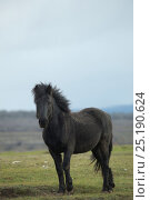 Купить «Wild rare Losino stallion, Losa Valley, Burgos, Spain. January 2014.», фото № 25190624, снято 16 августа 2018 г. (c) Nature Picture Library / Фотобанк Лори