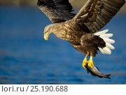Купить «White-tailed Eagle (Haliaeetus albicilla) hunting, with fish in claws, Norway, May.», фото № 25190688, снято 18 июля 2018 г. (c) Nature Picture Library / Фотобанк Лори