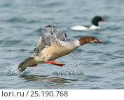 Купить «Goosander (Mergus merganser) female taking off, Lake Geneva, Switzerland, March.», фото № 25190768, снято 27 мая 2020 г. (c) Nature Picture Library / Фотобанк Лори