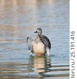 Купить «Gadwall (Anas strepera) male flapping wings, Cley Marshes Reserve, Norfolk, England, UK.», фото № 25191416, снято 27 мая 2020 г. (c) Nature Picture Library / Фотобанк Лори