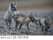 Купить «Arctic foxes (Vulpes lagopus) juveniles playing, in summer coat, Wrangel Island, Far Eastern Russia, August.», фото № 25191816, снято 27 мая 2019 г. (c) Nature Picture Library / Фотобанк Лори