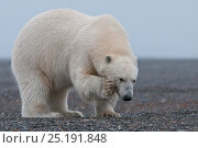 Купить «Polar bear (Ursus maritimus) scratching, Wrangel Island, Far Eastern Russia, September.», фото № 25191848, снято 23 января 2019 г. (c) Nature Picture Library / Фотобанк Лори