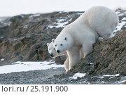 Купить «Polar bear (Ursus maritimus) two on coast, Wrangel Island, Far Eastern Russia, October.», фото № 25191900, снято 24 июня 2019 г. (c) Nature Picture Library / Фотобанк Лори
