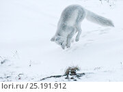 Купить «Arctic fox (Vulpes lagopus) in winter fur hunting for lemmings, Wrangel Island, Far Eastern Russia, October.», фото № 25191912, снято 21 января 2019 г. (c) Nature Picture Library / Фотобанк Лори