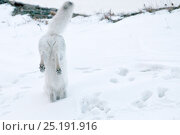 Купить «Arctic fox (Vulpes lagopus) in winter fur hunting for lemmings, Wrangel Island, Far Eastern Russia, October.», фото № 25191916, снято 21 октября 2019 г. (c) Nature Picture Library / Фотобанк Лори