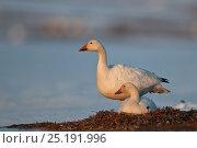 Купить «Snow geese (Chen caerulescens caerulescens) pair with one on nest, Wrangel Island, Far Eastern Russia, May.», фото № 25191996, снято 22 января 2019 г. (c) Nature Picture Library / Фотобанк Лори