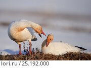 Купить «Snow geese (Chen caerulescens caerulescens) male calling to female on nest, Wrangel Island, Far Eastern Russia, May.», фото № 25192000, снято 24 июня 2019 г. (c) Nature Picture Library / Фотобанк Лори