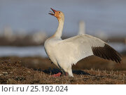 Купить «Snow geese (Chen caerulescens caerulescens) displaying, Wrangel Island, Far Eastern Russia, May.», фото № 25192024, снято 19 октября 2018 г. (c) Nature Picture Library / Фотобанк Лори