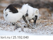 Купить «Arctic fox (Vulpes lagopus) with Snow goose egg in mouth, mid moult from winter to summer fur, Wrangel Island, Far Eastern Russia, June.», фото № 25192040, снято 27 мая 2019 г. (c) Nature Picture Library / Фотобанк Лори