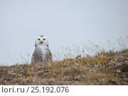 Купить «Snowy owl (Bubo scandiacus) on ground, Wrangel Island, Far Eastern Russia, August.», фото № 25192076, снято 23 октября 2019 г. (c) Nature Picture Library / Фотобанк Лори
