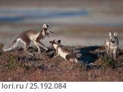 Купить «Arctic foxes (Vulpes lagopus) playing, in summer fur,  Wrangel Island, Far Eastern Russia, August.», фото № 25192084, снято 18 апреля 2019 г. (c) Nature Picture Library / Фотобанк Лори