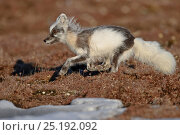Купить «Arctic fox (Vulpes lagopus) running, mid moult into summer fur, Wrangel Island, Far Eastern Russia, June.», фото № 25192092, снято 18 апреля 2019 г. (c) Nature Picture Library / Фотобанк Лори