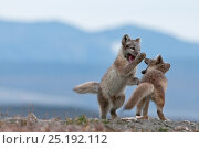 Купить «Arctic foxes (Vulpes lagopus) juveniles playing,Wrangel Island, Far Eastern Russia, August.», фото № 25192112, снято 29 августа 2018 г. (c) Nature Picture Library / Фотобанк Лори