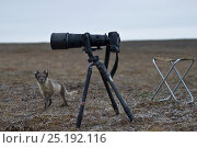Купить «Arctic fox (Vulpes lagopus) in summer coat looking up at camera, Wrangel Island, Far Eastern Russia, August.», фото № 25192116, снято 27 мая 2019 г. (c) Nature Picture Library / Фотобанк Лори