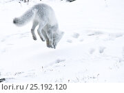 Купить «Arctic fox (Vulpes lagopus) in winter fur hunting for lemmings, Wrangel Island, Far Eastern Russia, October.», фото № 25192120, снято 21 марта 2019 г. (c) Nature Picture Library / Фотобанк Лори